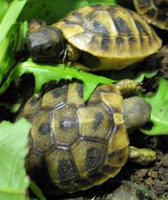 Griechische Landschildkröten Babys zu kaufen