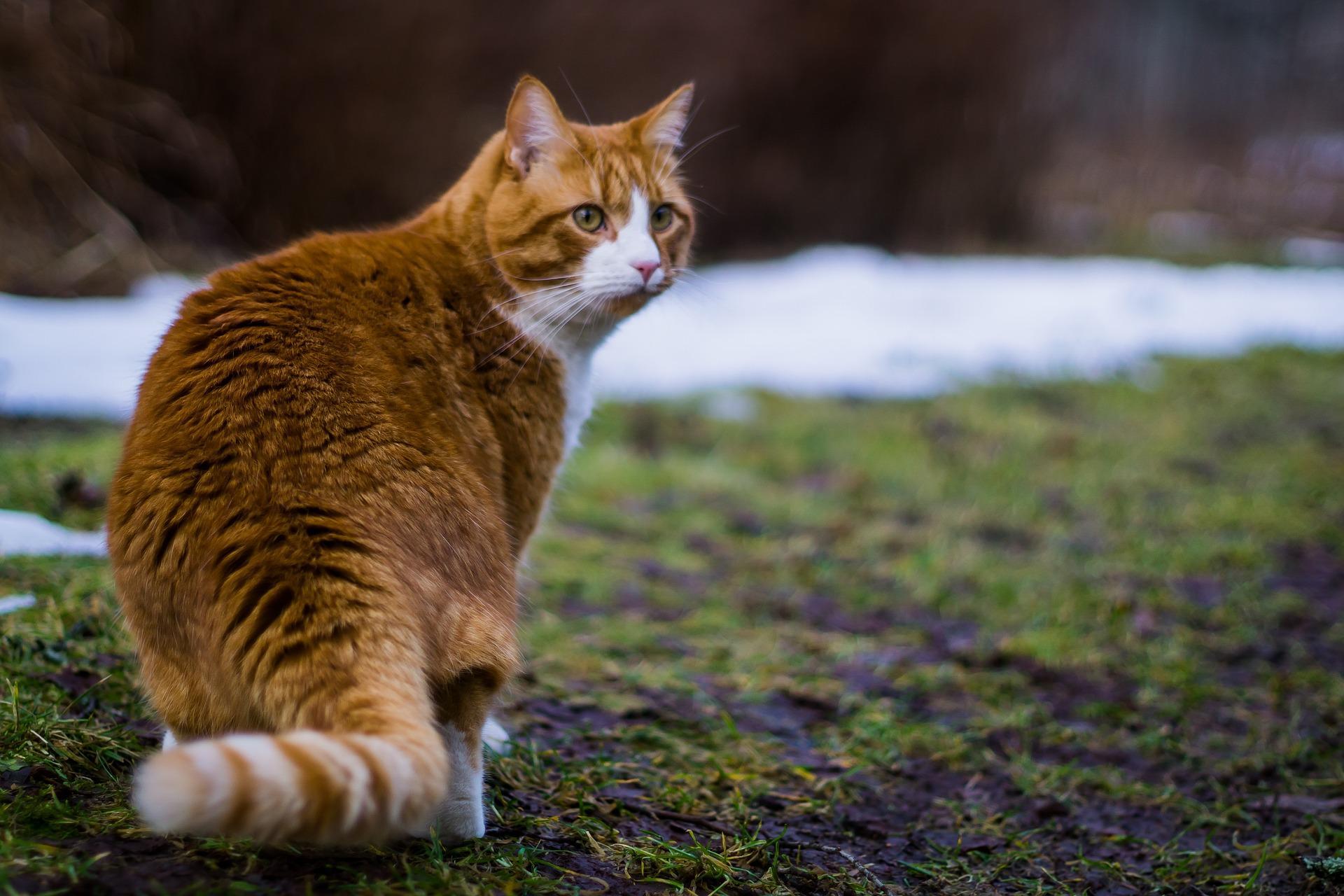 Gray Tabby Cat White Paws