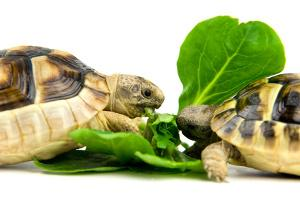 Bild fressende Schildkröten