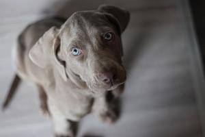 Bild grauer Hund